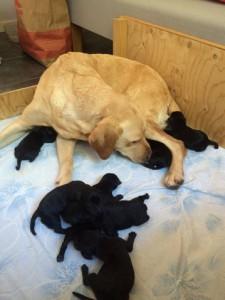 7 vålmående valpar föddes inatt hos Pilen kennel!